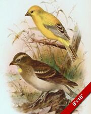 ARABIAN GOLD GOLDEN SPARROW YELLOWTHROAT  DRAWING PAINTING ART REAL CANVAS PRINT