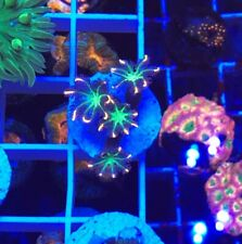 Ultra pink tip Clove polyps WYSIWYG Coral salt reefkingdom