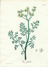 Hocquart color stipple engraving herb common rue Roques Medical Botany 1821
