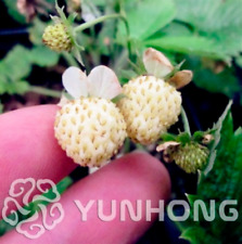 500 PCS Seeds Pineberry Bonsai Garden Fruits And Vegetable White Berries 2020 D