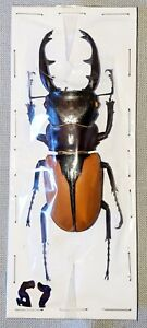 BEETLE - Odontolabis burmeisteri male 94mm +  -  from India