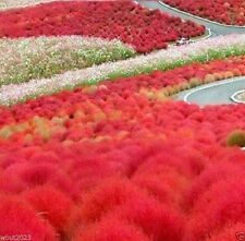 100 Burning Bush Seeds -Summer Cypress,Mexican Fireweed, Belvedere 'Trichophylla