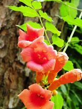 """Trumpet-Hummingbird Vine 1-cutting Vine 8""""  Campsis radicans"""