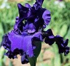 "Tall Bearded Iris""Dusky Challenger""(Schreiner)Sil ky Huge Purple-Dykes Winner!"