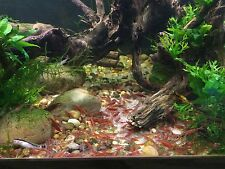10+ Red Cherry Shrimp (Neocaridina) Healthy, Home Bred, Freshwater