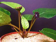 DORSTENIA ELATA rare succulents caudex exotic caudiciform bonsai seed 100 SEEDS