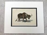 1853 Antico Stampa Wild Buffalo Toro Bestiame Originale Vittoriano Art