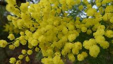 Acacia decurrens - Black Wattle - 25 Seeds