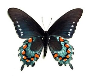 Battus philenor ONE REAL BUTTERFLY BLUE SWALLOWTAIL UNMOUNTED WINGS CLOSED
