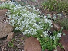 New listing sedum White Stonecrop, 5 Live Plants! cannot hold, must ship immediate! GroCo@