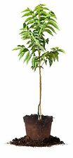 Elliot Pecan Tree, Live Plant, Size: 5 Gallon