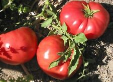 150 German Johnson Tomato Seeds Heirloom - Free Gift - COMB S/H