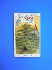ORIGINAL CIGARETTE CARD: Gallaher Woodland Trees 1912 - The Yew Tree 16