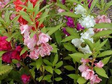 0.5g. (approx. 50) garden balsam seeds IMPATIENS BALSAMINA decorative, Tea herb