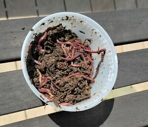 100+ Red Wiggler composting worms FREE SHIPPING!