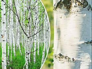 50+ White Paper Birch Tree Seeds (Betula papyrifera) | FAST-GROWING TREE, SHOWY!