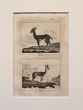 Buffon Antiguo montado impresión c.1800 - grabado-Ciervos Antílope Gacela (3)