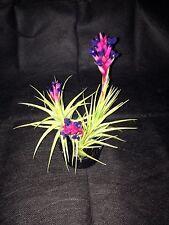Epiphyllum Orchid Cactus Tenuifolia Blue 7 Plants For-