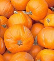Pumpkin Big Max Non GMO Heirloom Garden Vegetable Seeds Sow No GMO® USA