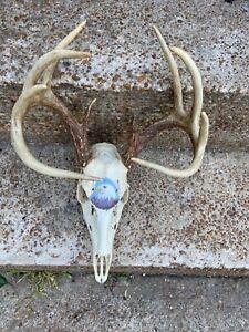 Whitetail Deer Antler Set 10 Point Nice skull European mount eagle