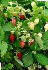 Fruit - Alpine Strawberry - Reugen - 500 Seeds