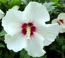 "8 graines d' HIBISCUS SYRIACUS ""RED HEART""  H170 ALTHEA ROSE OF SHARON SEEDS"