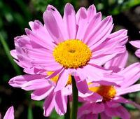 PYRETHRUM ROSE Chrysanthemum Coccineum - 100 Seeds
