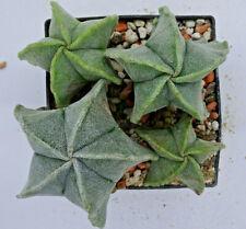 Kakteen – Kaktus – Astrophytum myriostigma 4 Stück 3 bis 5cm