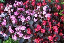Begonia Cocktail Mix Seeds Flowers All Summer Long - Bedding Begonia