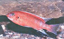 Four Fish Colony Labeotropheus trewavasae (Chilumba)  Ochre 1.5 inch Cichlid