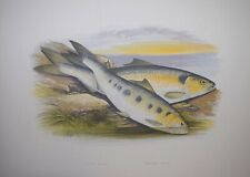 """Fish - Allis Shad, Twaite Shad For Houghton'S """"Fresh Water Fishes"""", 1879"""