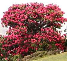 Rhododendron Arboreum, Medicinal herb Guinness record tree flower seed 10 SEEDS