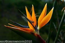 Strelitzia Nicolai Paradiesvogelblume 5 frische Samen