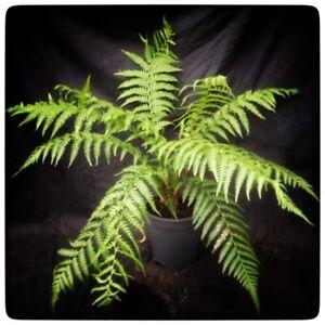 Dicksonia antarctica, stem/plant/total 5/65-75/80-90 cm