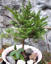 Pre Bonsai Fichte Picea abies outdoor ohne Bonsaischale gute 45 cm