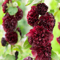 30+   HOLLYHOCK MAROON  DOUBLE  CHATERS, ALCEA ROSEA / PERENNIAL FlOWERS SEEDS
