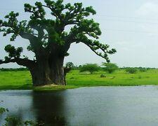 Baobab Tree - ADANSONIA DIGITATA - 4 Seeds Exotic Tree
