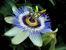 (25) PASSIONFRUIT Seeds - Passiflora caerulea -  Combined S&H