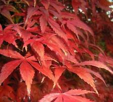Acer palmatum, Acero palmato - Pianta in cilindro di torba pressata - PREBONSAI