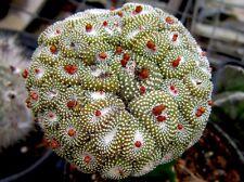 25 Blossfeldia liliputana MINIATURE CACTUS seeds semi korn no ariocarpus huernia