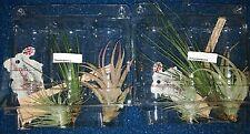 Tillandsien Mix Regenwald 3 (2,75€/Stk.) verschiedene Arten in bunter Mischung