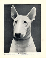 BULL TERRIER CHAMPION DOG HEAD STUDY OLD ORIGINAL DOG PRINT PAGE FROM 1934