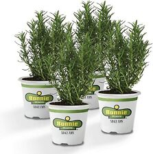 Rosemary Live Plant Edible Aromatic Herb Organic Cooking Ornamental Perennial 4x