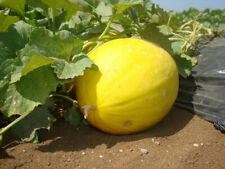 Melon Jaune Canari - Graines x10 (🌿 culture BIO) seeds seed