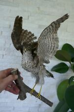 PREMIUM Taxidermy SPARROW HAWK (Accipiter nisus) with PAPERS from 1970