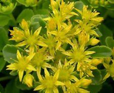 500 Sedum Seeds Golden Carpet Garden Seeds