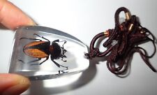 Insect Large Necklace Golden Stag Beetle Odontolabis cuvera chinesis SD12 Clear