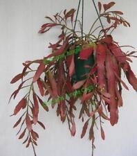 Rhipsalis Cacti Cactus Succulent - Red Dragon R46 - Cutting (Will Combine Post!)