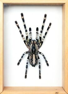 Unique Real Tarantula (Poecilotheria regalis) Taxidermy - Mounted,Framed