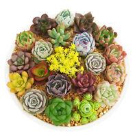 600pcs Mixed Succulent Seeds Lithops Rare Living Stones Plants Cactus Home Plant